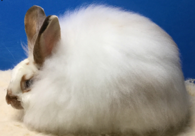 Satin Angora Rabbit Association